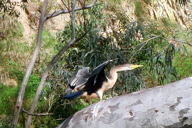 Australain darter bird