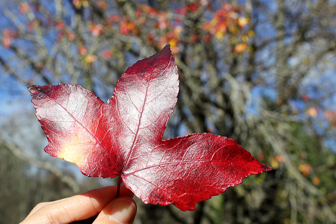 A red leaf.
