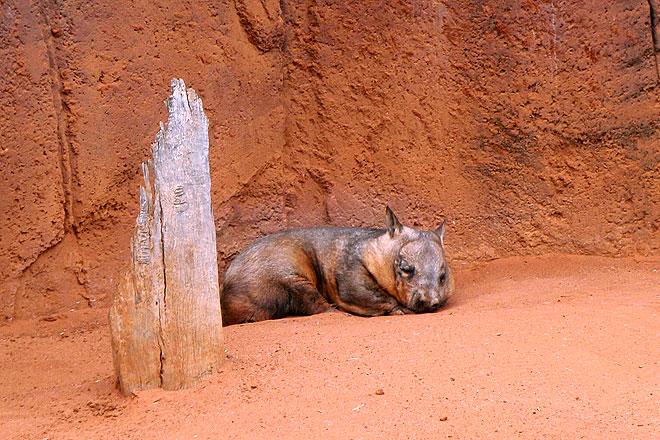 It's a sleeping wombat!