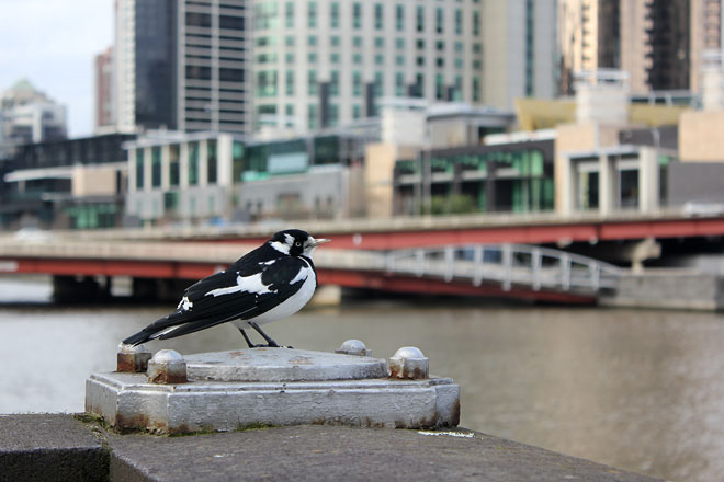 Magpie, South Bank