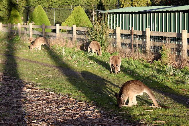 Kangaroos in the wild, Lysterfield.