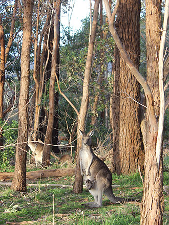 Kanga mom and baby roo. (In case you don't know, baby kangaroos are called joeys.)