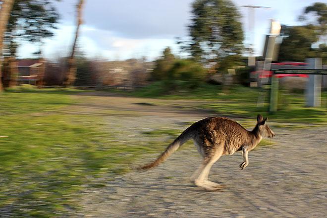 Kangaroo hops
