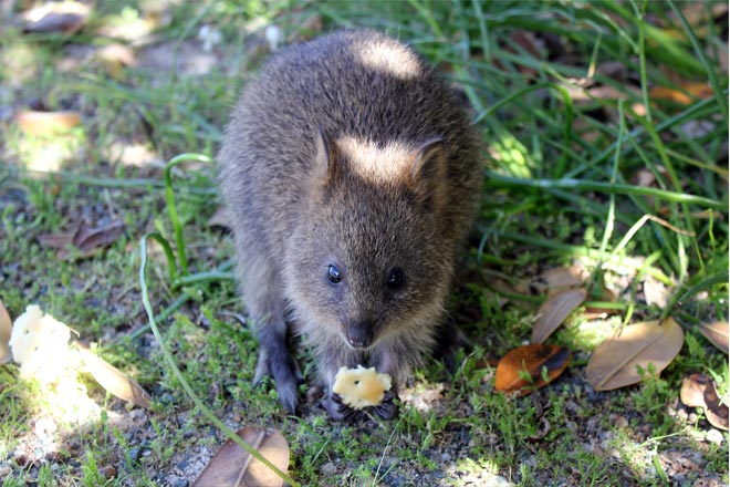 Baby quokka eating cracker