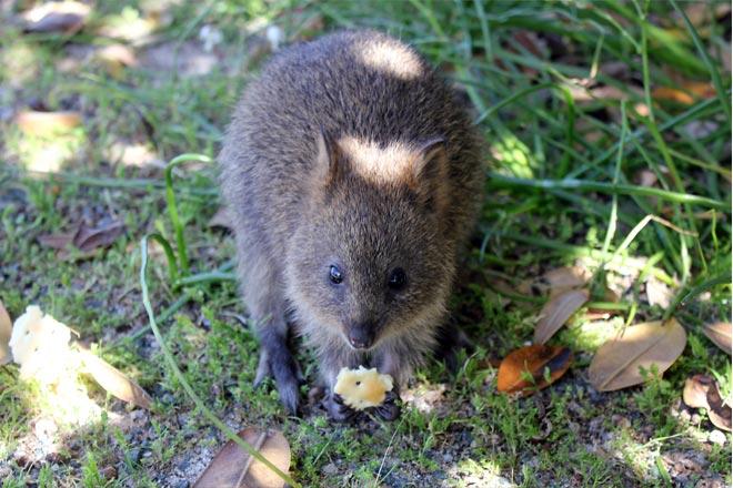 Baby quokka eating cracker