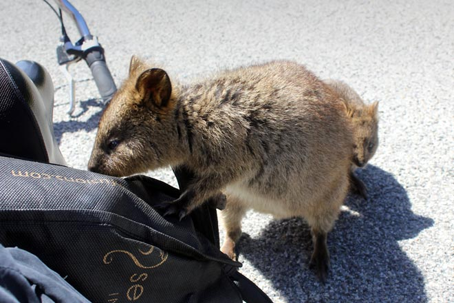 Quokka looking for food in my bag.