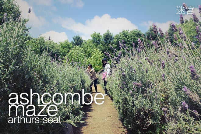 Ashcombe Maze: Lavender, Roses, and Hedges
