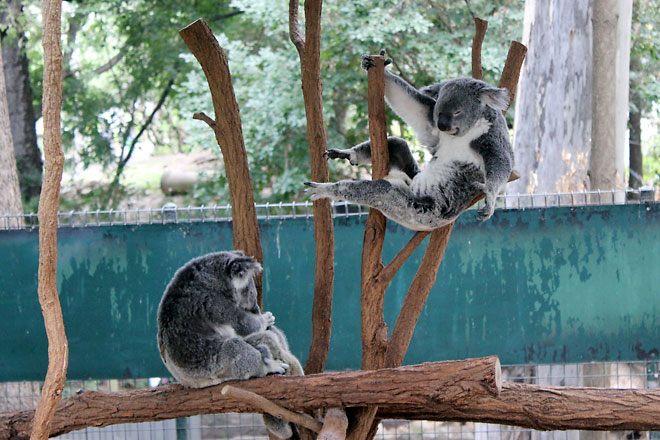 Koalas about to bust some martial arts move.