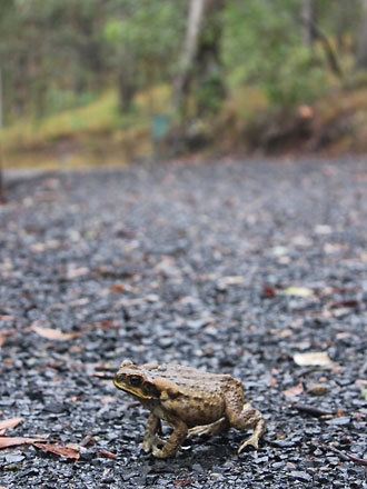 Olive-yellow toad on the road.