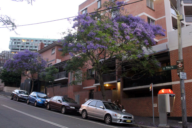 Jacarandas Trees in Sydney