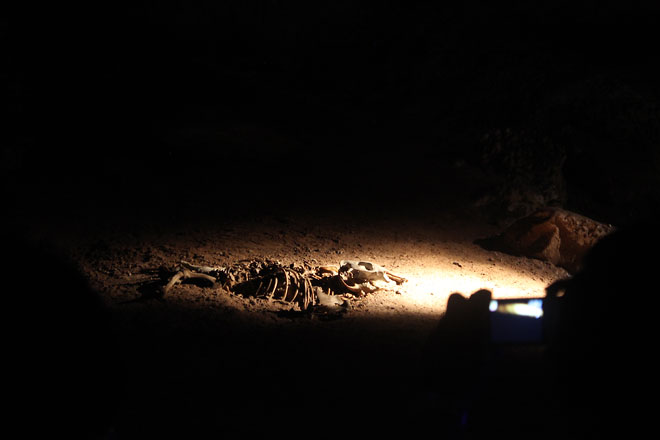Wombat skeleton in the spotlight with dark surroundings.