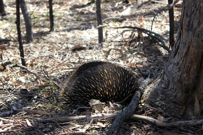 Echidna digging its head into the ground.