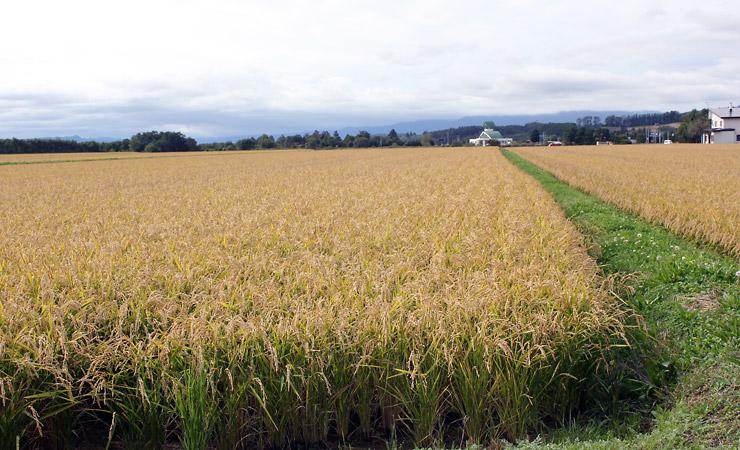 Biei - Rice Fields