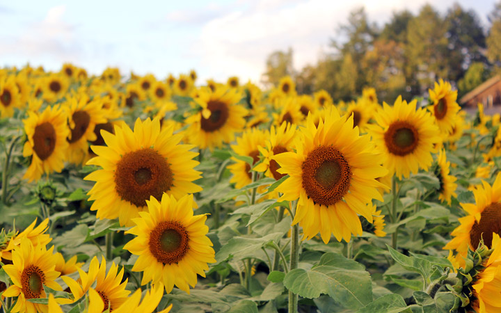 Sunflowers at Shikisai-no-Oka