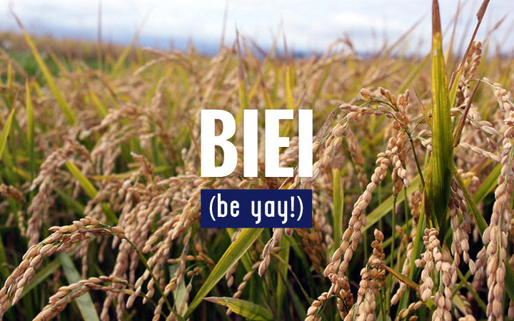 Biei - Rice Fields