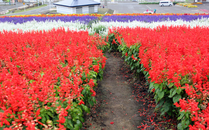 Furano flowers – Field of flowers