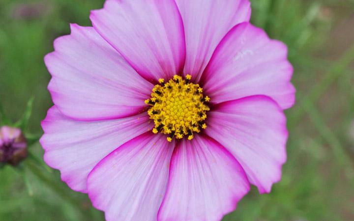 Furano flowers – single purplish pink flower