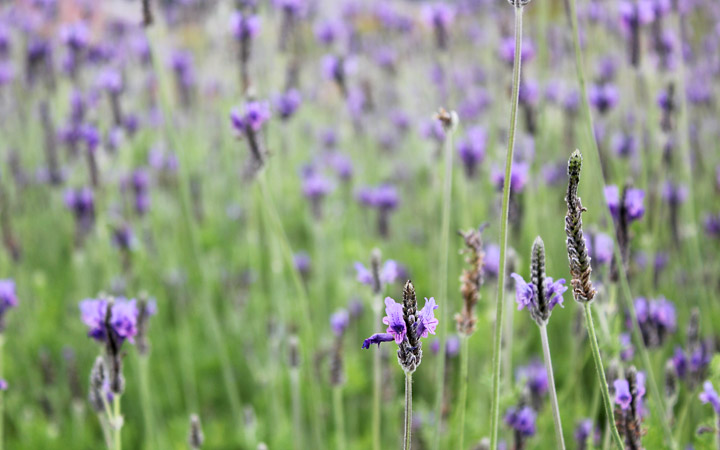 Furano flowers – lavender or not?