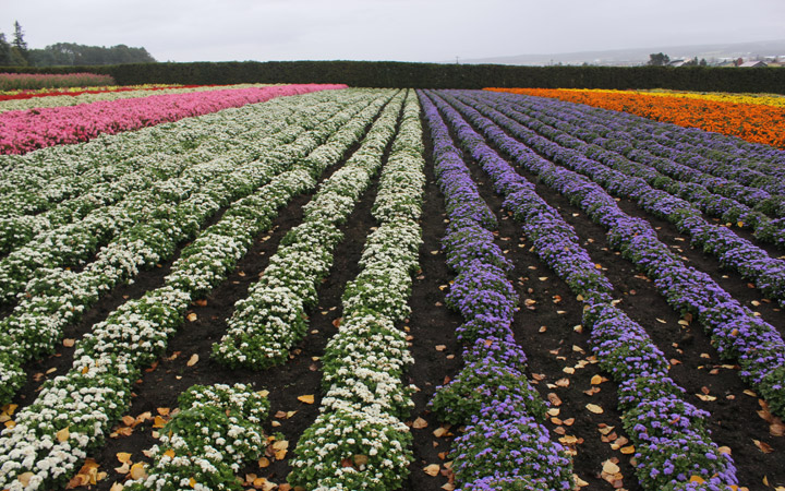 Farm Tomita - rows of flowers