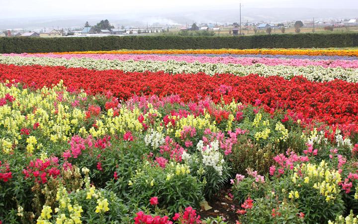 Farm Tomita - rows of flowers