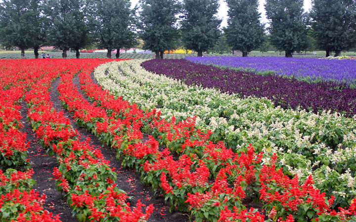 Farm Tomita - wavy rows of flowers