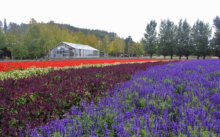 Farm Tomita - wavy rows of flowers, greenhouse in the background