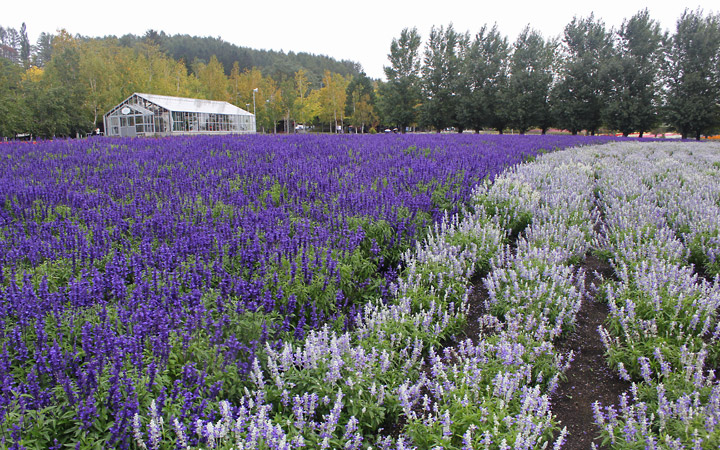 Farm Tomita - rows of flowers, greenhouse in the background