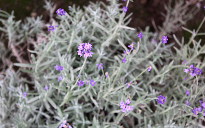 Farm Tomita - flowers
