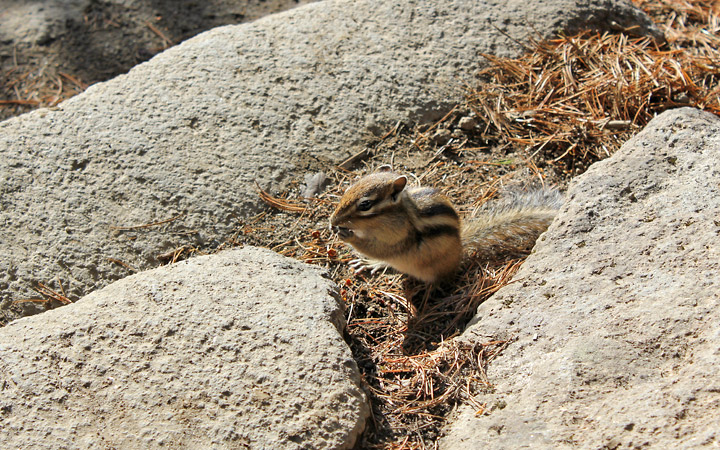 Daisetsuzan National Park, chipmunk